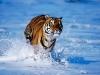 normal_tigers_7.jpg