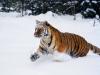 tigr112-800x600.jpg