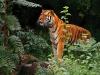 tigr116.jpg