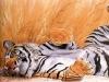 tigr152-800x600.jpg