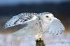 20_snowy_owl